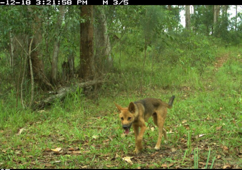 Four in five wild dogs carry parasitic worms, study finds