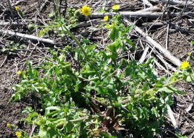 Common sowthistle survey to guide future research