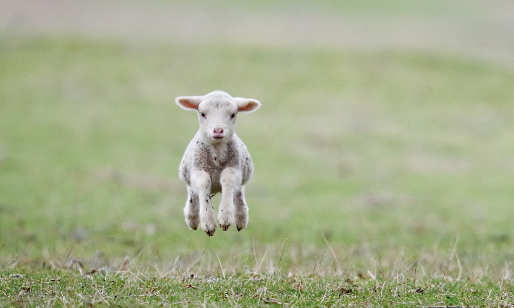 New lamb definition to support WA exports