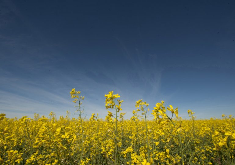 Learn how to optimise the profitability of your canola crop