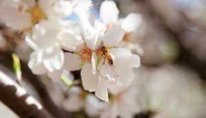 Almond pollination and yield is highly dependent on honey bees, which can be brought into the orchard in large numbers over the flowering period. Image: courtesy of Almond Board of Australia