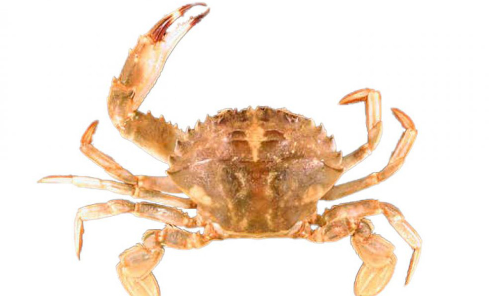 Keep watch for Asian Paddle Crab and report it