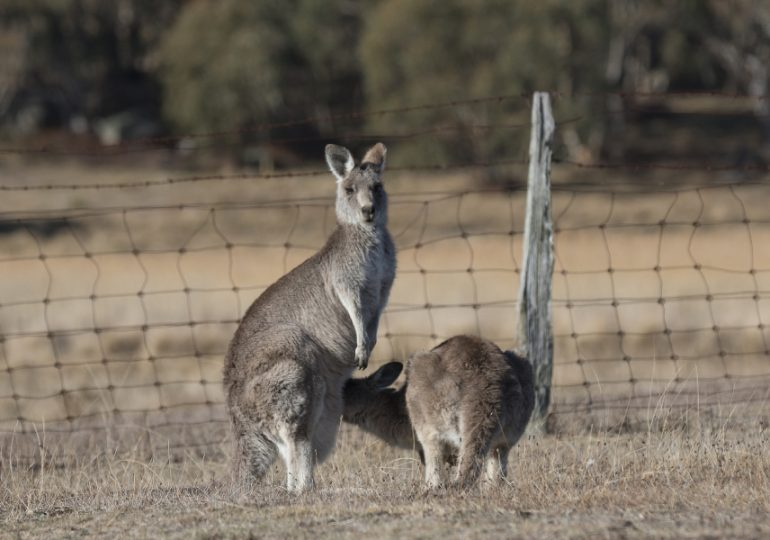 Kangaroo commercial harvest zone expanded
