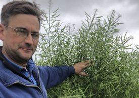 Farmer makes $3600/ha with graze and grain canola