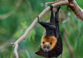Discovery of new virus in bats linked to AIDS-like disease decimating koalas