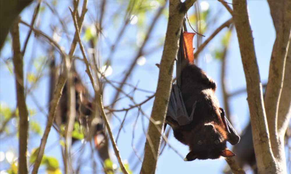 Council disbands Flying Fox Advisory Committee