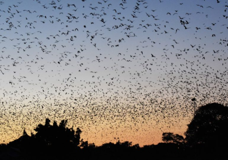 Flying-fox relocation to alternative roost site at Young's Block