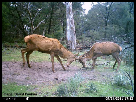 Deer can cause significant damage to the environment, as well impact our agricultural lands (image taken by Daryl Panther).