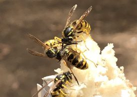 European wasp surveillance season wraps up on a high