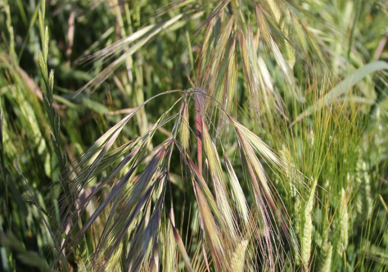 Check now for late brome germinations