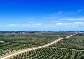SA olive growers expand in Coonalpyn