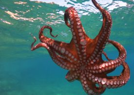 Commercial octopus fishery licences secured in Gippsland