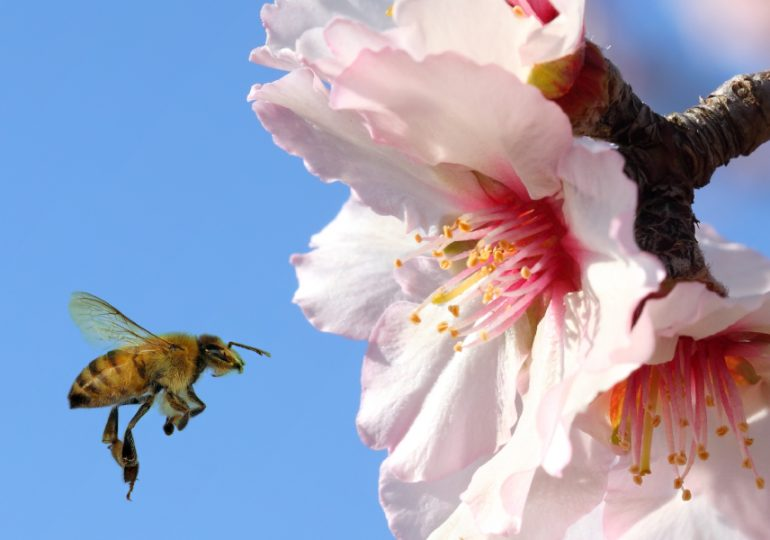 Epic journey of bees secures Victorian almond season