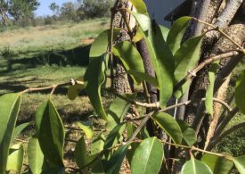 Toxic strangler weed found in Bourke and Brewarrina shires