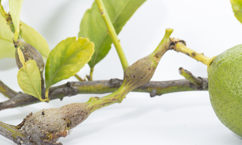 Home gardeners look out for citrus gall wasp