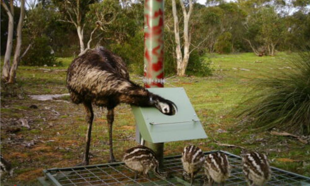 Pesky emu's proving a 'stretch' for our feral deer aggregator