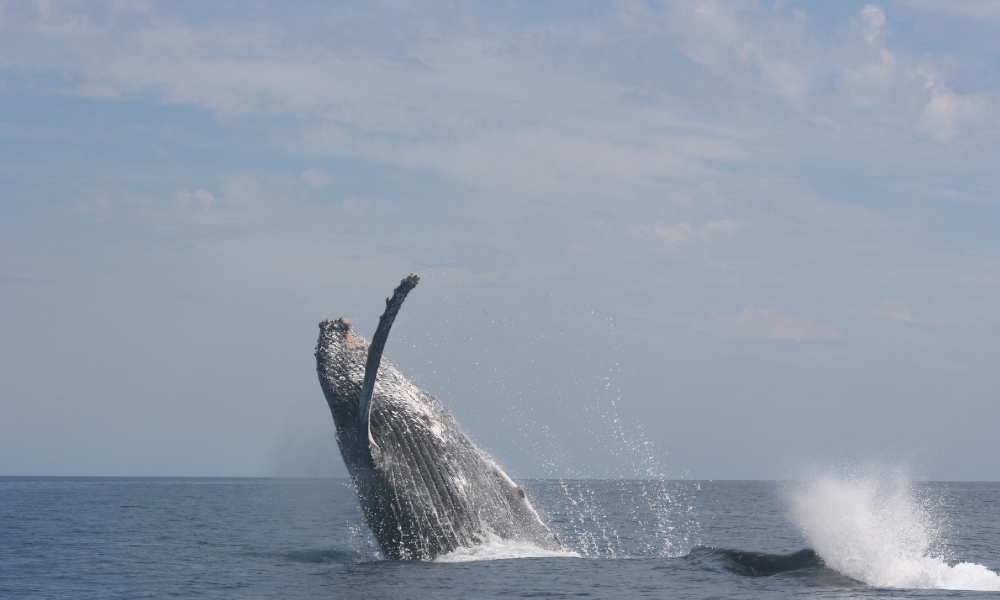 Effective fisheries management reduces humpback entanglements
