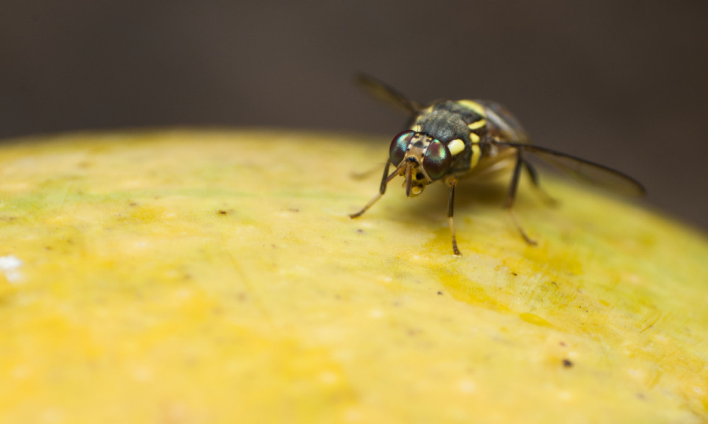 New support to tackle fruit fly and protect horticulture jobs