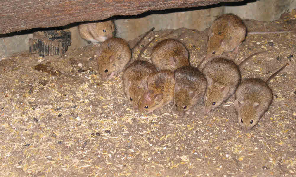 Research prompts increase to recommended mouse bait rates