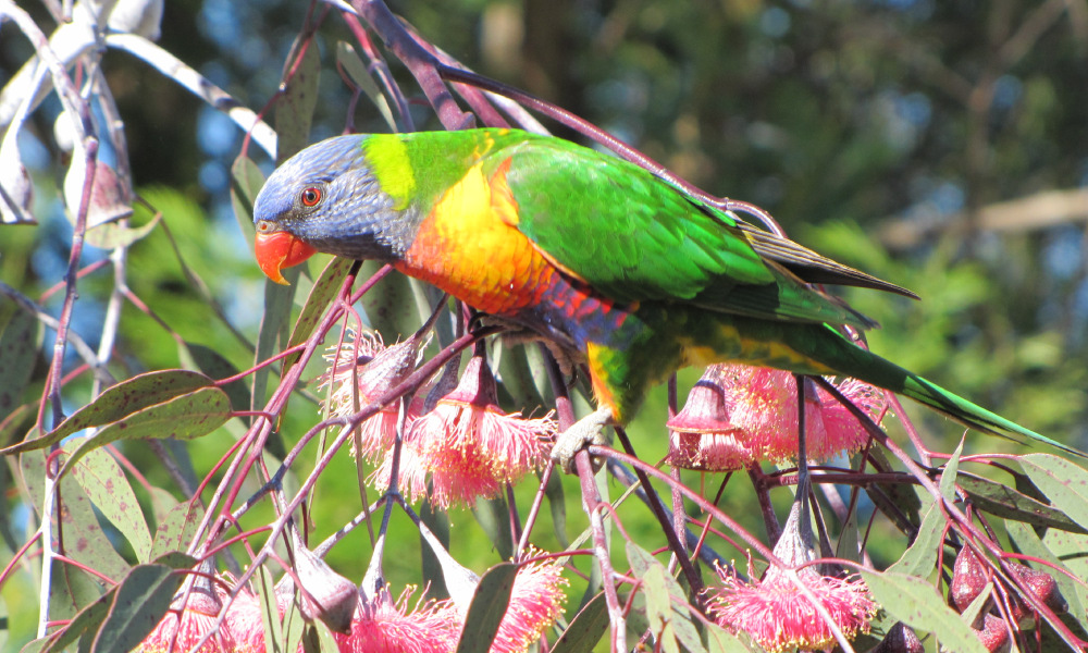 Join the Aussie Backyard Bird Count this month